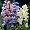 Hyacinthoides Mix