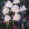 Daffodil Cantabricus