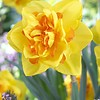 Daffodil Le Torch