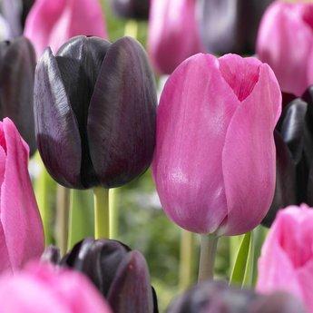 Tulipa Don Quichotte
