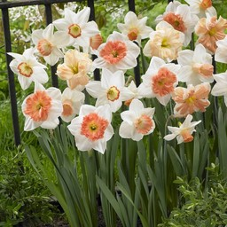 Narcissenmix Pink Family