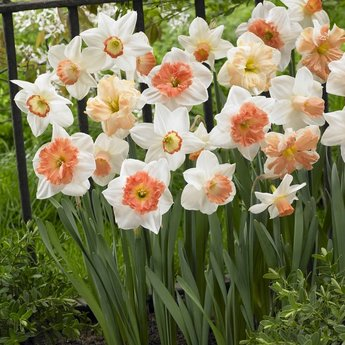 Narcissus Pink Family