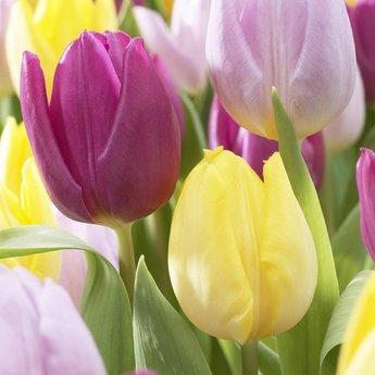 Tulipa Easter Time