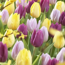 Tulpen Mischung Easter Time
