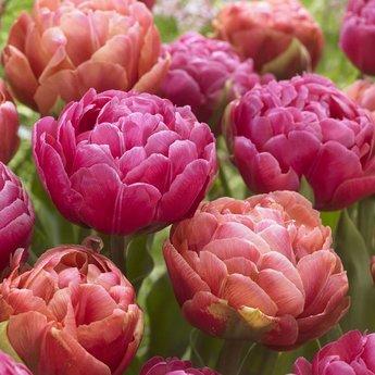 Tulipa Best Friends