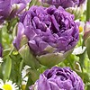 Tulip Blue Wow