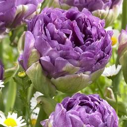 Tulpe Blue Wow