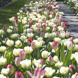 Tulpen Mischung Dream Carpet