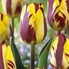Tulpe Helmar