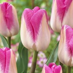 Tulip Innuendo