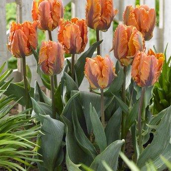 Tulipa Irene Parrot