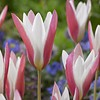 Tulp Lady Jane