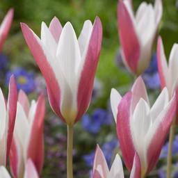 Tulip Lady Jane