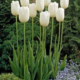 Tulpe Maureen