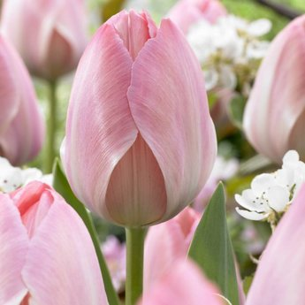 Tulipa Mystic van Eijk