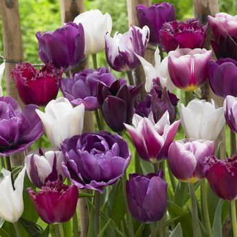 Tulipa Purple Explosion