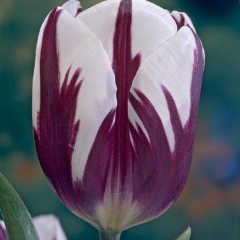 Tulipa Rem's Favourite