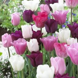 Tulip mixture Pretty in Pink