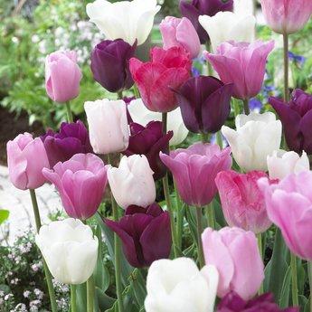 Tulipa Pretty in Pink