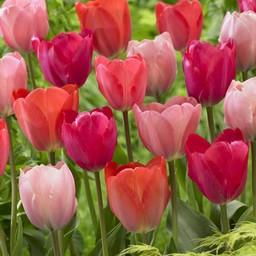 Tulpen Mischung Family van Eijk