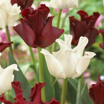 Tulipa Red Dress