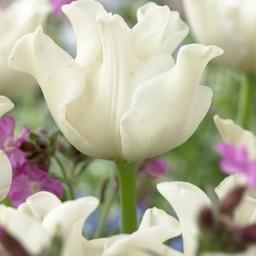 Tulpe White Liberstar