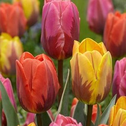 Tulip mixture Royal Flames