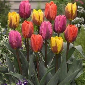 Tulipa Royal Flames