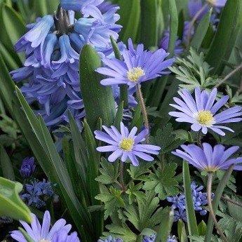 Anemone Blue Shades