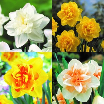 Double Daffs Collection