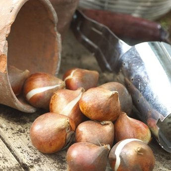 Tulipa Uncle Tom