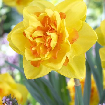 Narcissus Peony Trio
