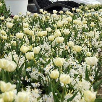 Tulipa White Mountain