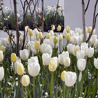 Tulipa Maureen