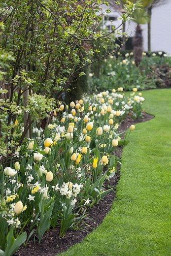 Tulip bulbs white mountain huge peonyflowering tulip tulip store tulipa white mountain tulipa white mountain mightylinksfo