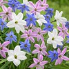 Ipheion Mix