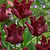 Tulpe Red Dress