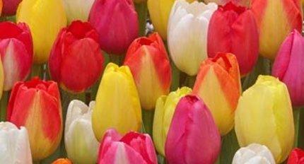 Alle Tulpen