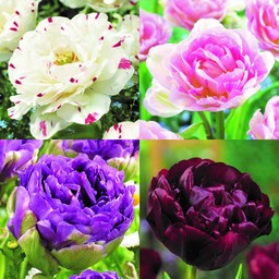 Peony Tulip Collection