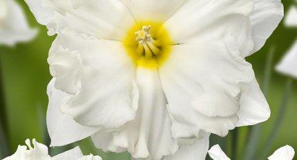 New daffodils