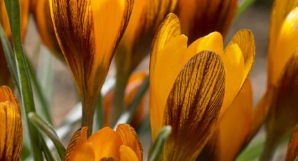 Crocusses