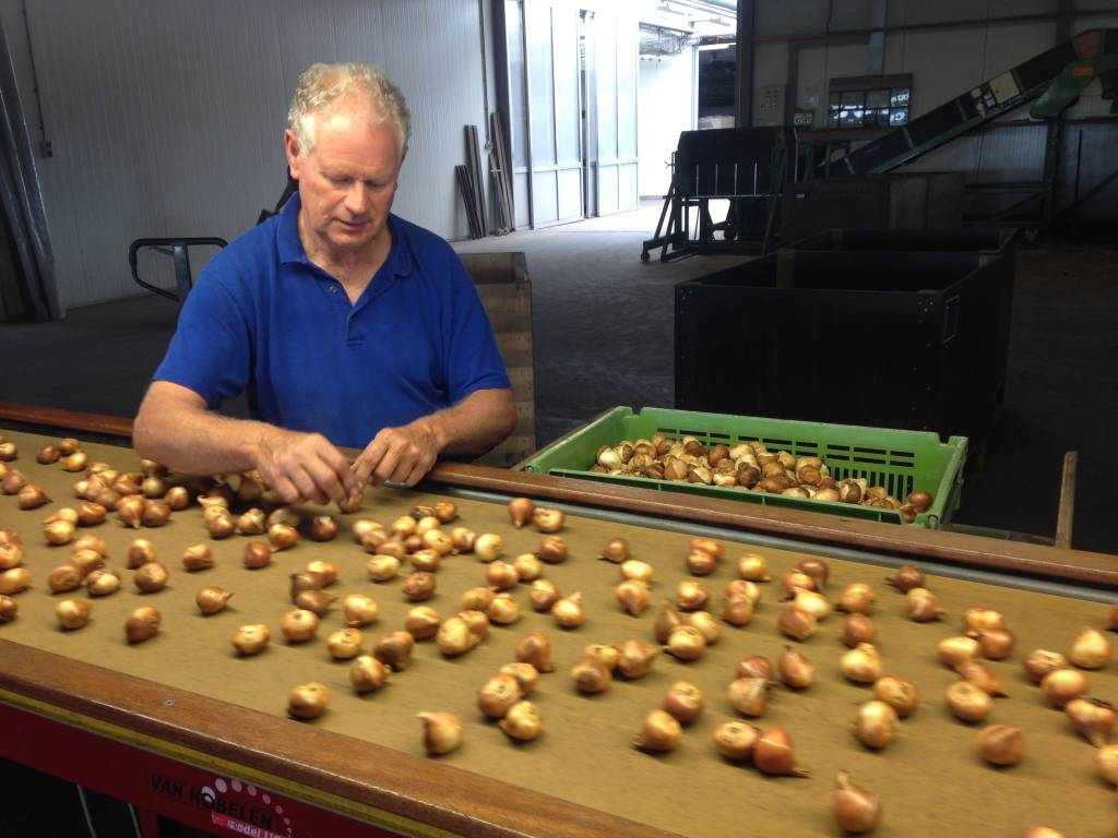 The growers are sorting the tulipbulbs.