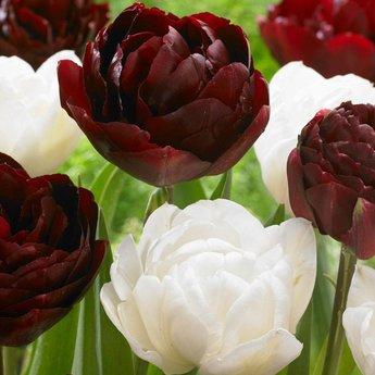 Tulipa Uncle Tom