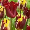 Tulpen Mischung Cherry Custard