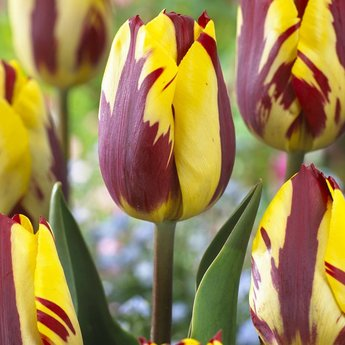 Tulipa Cherry Custard