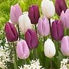 Tulpenmix Purple Rain