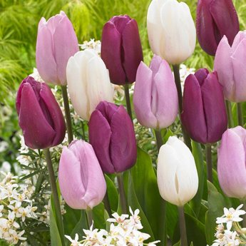 Tulipa Purple Rain