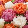 Tulpen Mischung Candy Frills