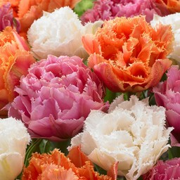 Tulip mixture Candy Frills