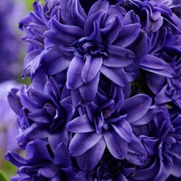 Hyacinth Royal Navy